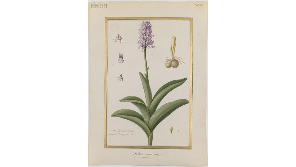 Orchis simia Anonyme Aquarelle sur vélin Collection des vélins du Muséum, portefeuille 13, folio 57