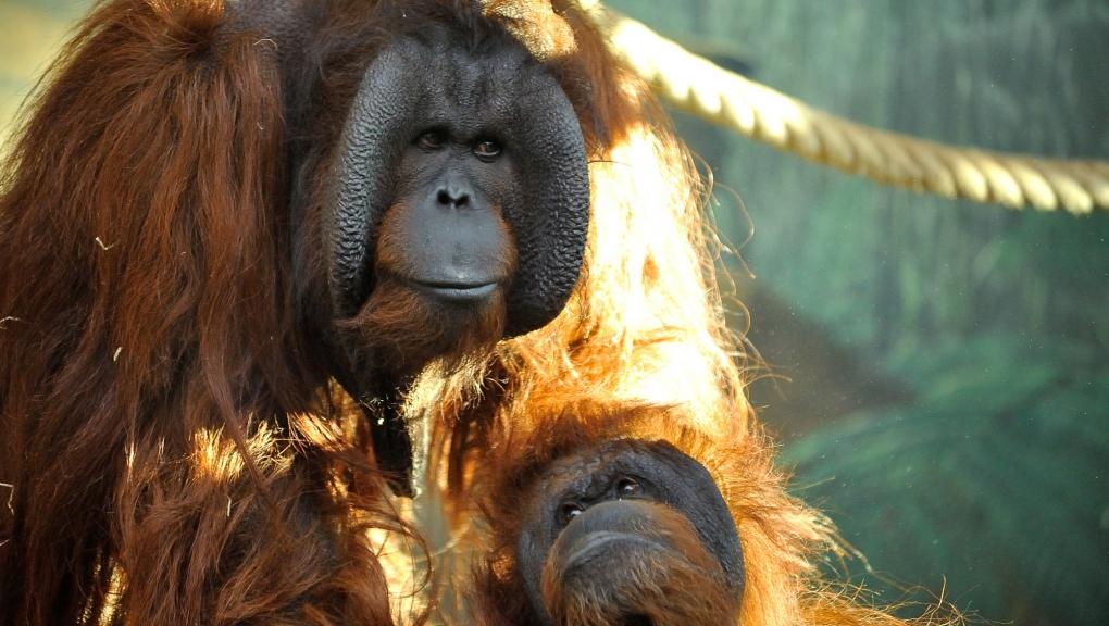 Nénette, la doyenne orang-outan (Pongo pygmaeus pygmaeus) © MNHN – FG Grandin