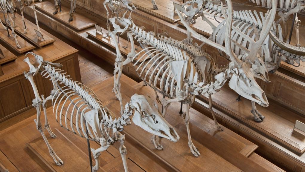 Squelette du Cerf du père David (Elaphurus davidianus), Galerie d'Anatomie comparée et de Paléontologie © MNHN – B. Faye
