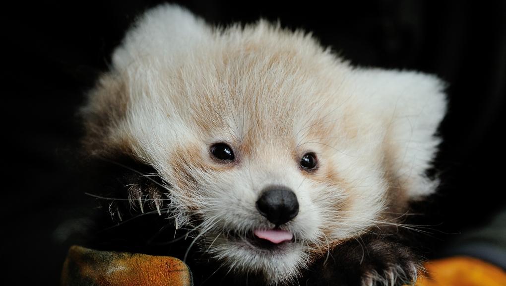 Jeune panda roux © MNHN - FG Grandin