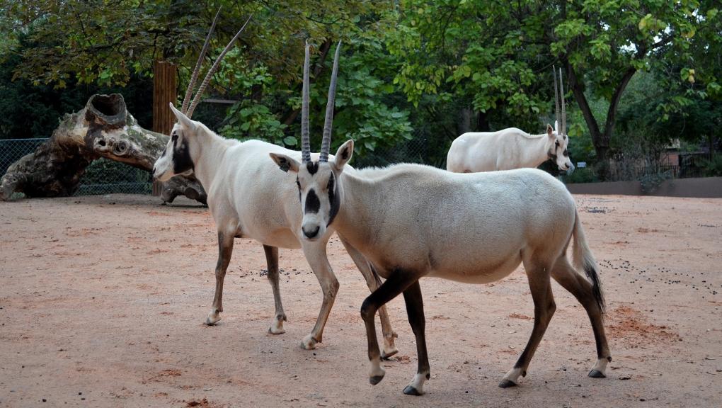 Oryx d'Arabie © MNHN - Jérôme Munier