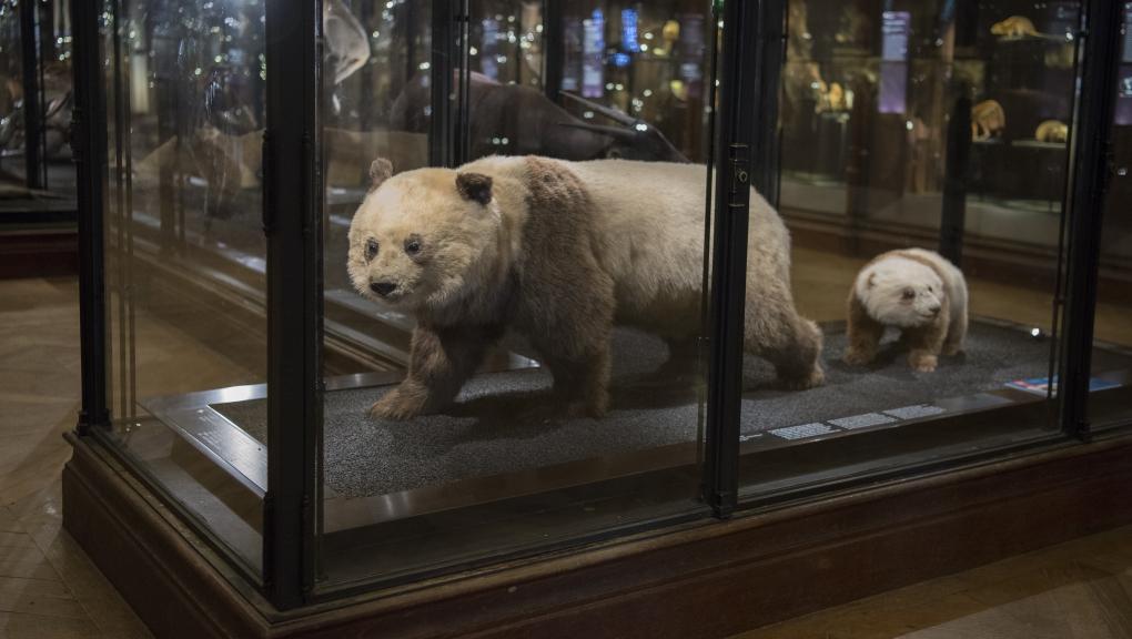 Les deux premiers spécimens de panda géant observés