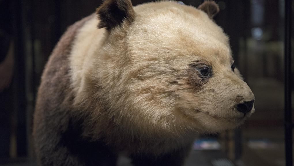 Premier panda géant observé, une femelle