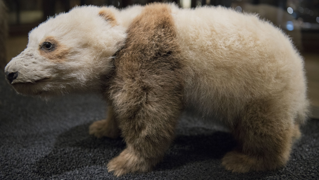 Le petit de la femelle, deuxième panda géant ramené en Europe