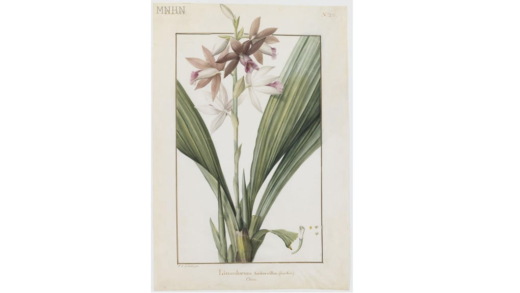 Phaius tankervilleae Pierre-Joseph Redouté (1759-1840) Aquarelle sur vélin Collection des vélins du Muséum, portefeuille 14, folio 20