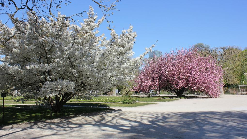 Prunus en fleurs au Jardin des Plantes, 2020 © MNHN - Xavier Riffet