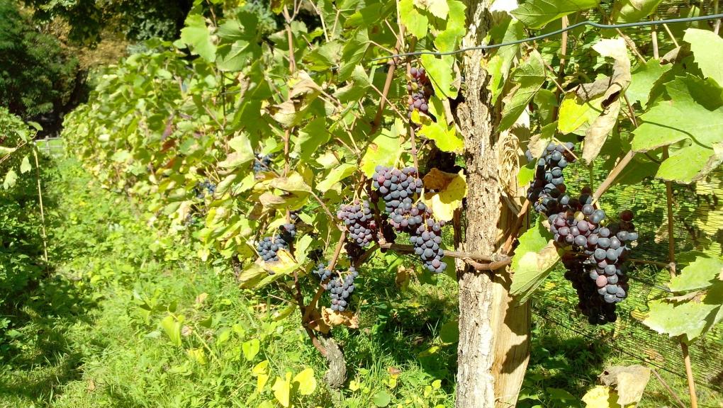 Vignes du Jardin écologique © MNHN - Philippe Barré