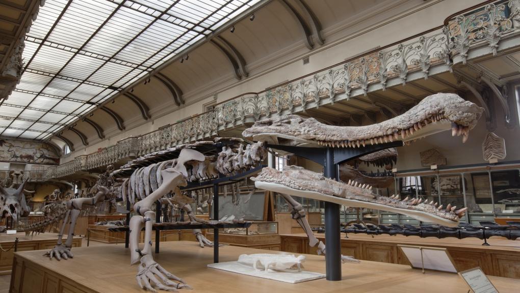 Sarcosuchus imperator © MNHN - Bernard Faye