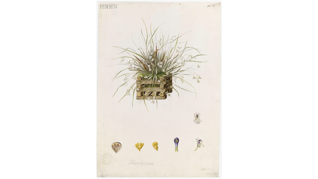 Scaphyglottis sp. Anonyme 1888 Aquarelle sur vélin Collection des vélins du Muséum, portefeuille 75, folio 86