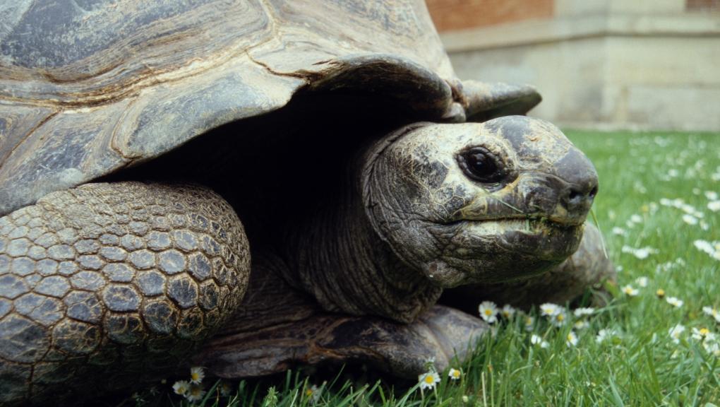 Kiki (1923-2009), la tortue géante des Seychelles (Aldabrachelys gigantea) à la ménagerie © MNHN – FG Grandin