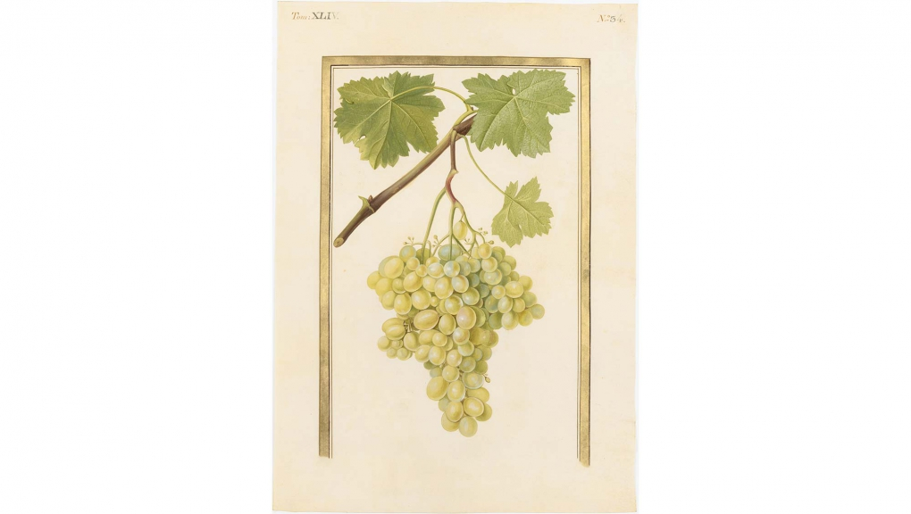 Anonyme, Vitis vinifera 'Damas', XVIIIe siècle. Gouache sur vélin. Paris © MNHN (dist. Rmn-GP)/Tony Querrec