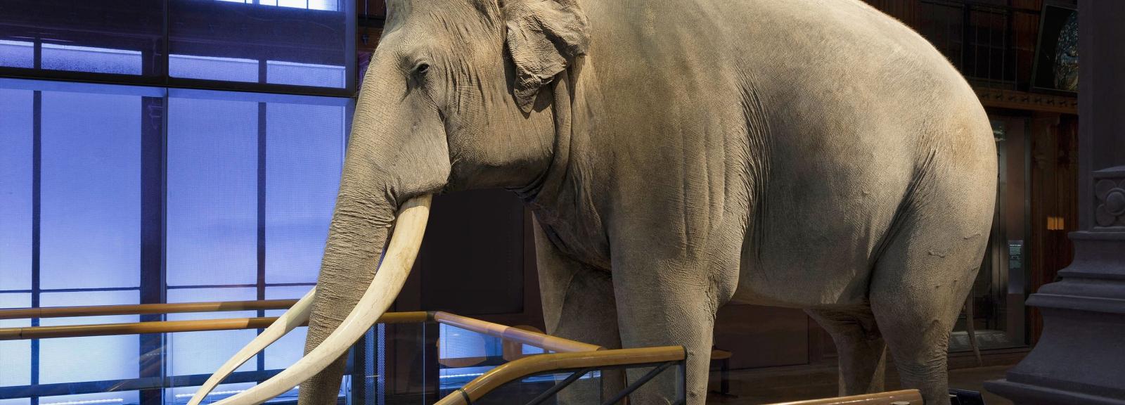 Siam, l'éléphant d'Asie (Elephas maximus) © MNHN - B. Faye