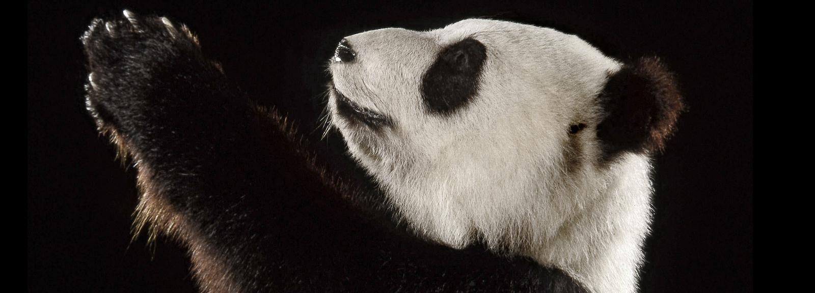 Li li, le grand panda du Président Pompidou © MNHN - L. Bessol