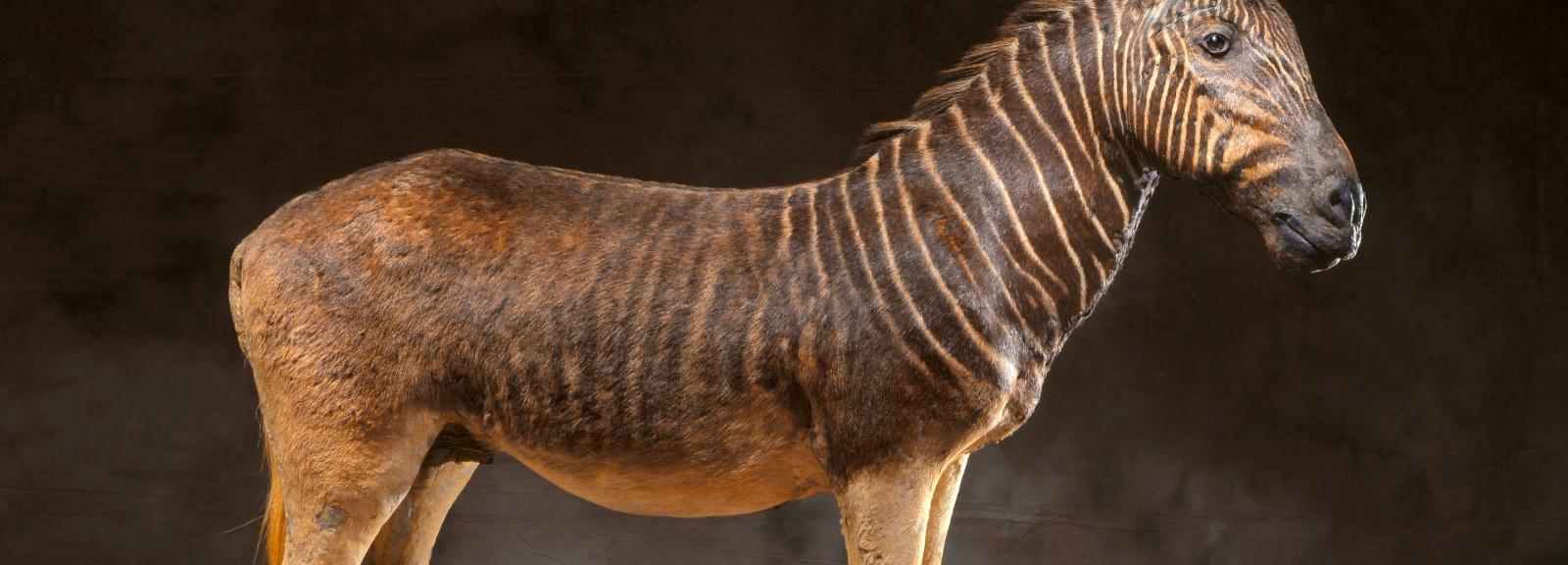 Couagga (Equus quagga) © MNHN – L. Bessol