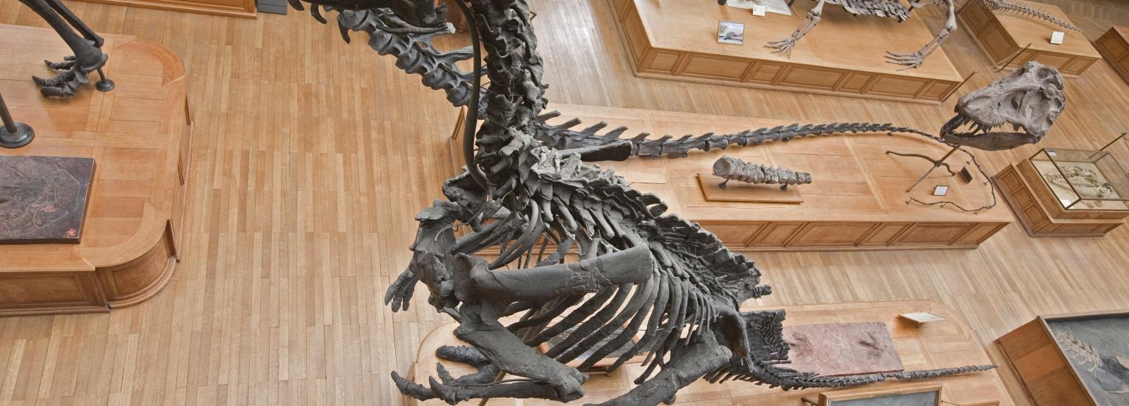 L'iguanodon © MNHN