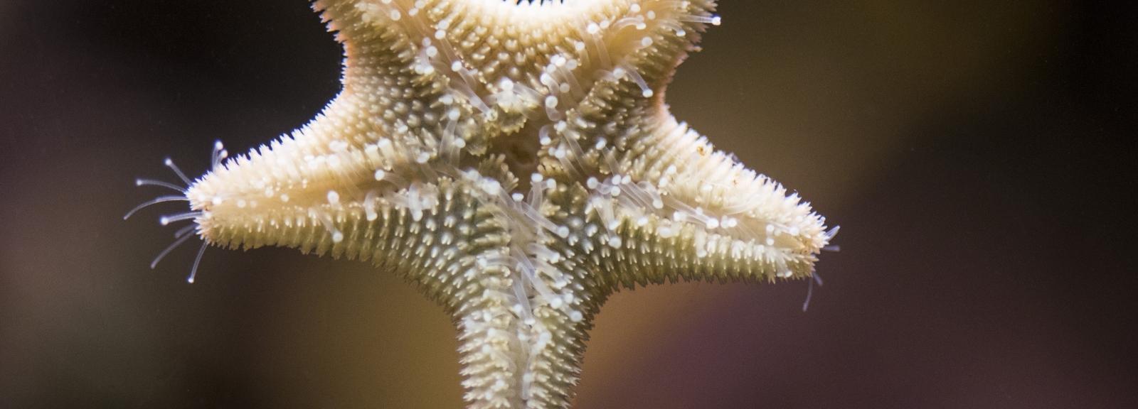 Etoile de mer Astérine bossue © MNHN - Agnès Iatzoura