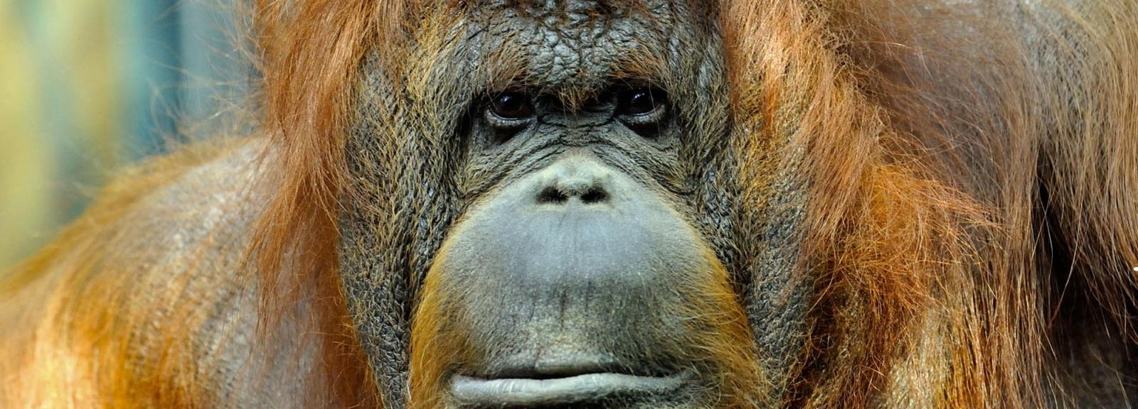Orang-outan © MNHN - FG Grandin