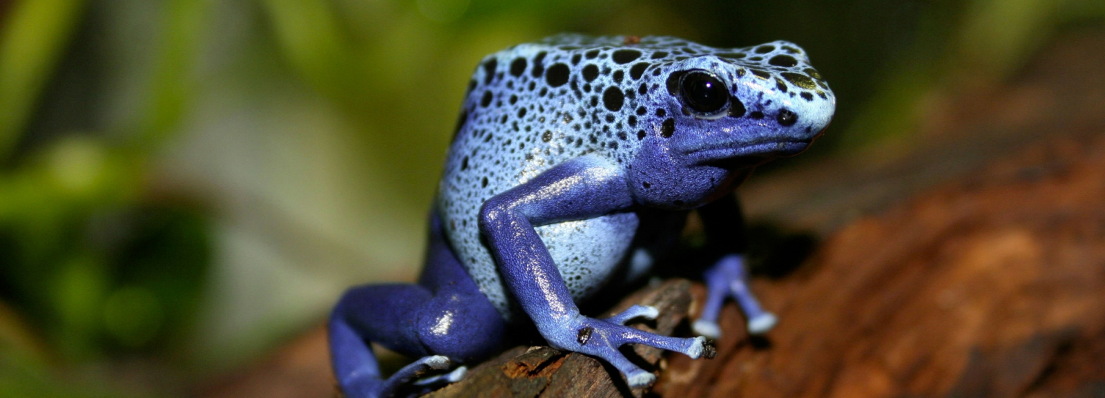 Dendrobate bleu (Dendrobates azureus) © MNHN - Christelle Hano