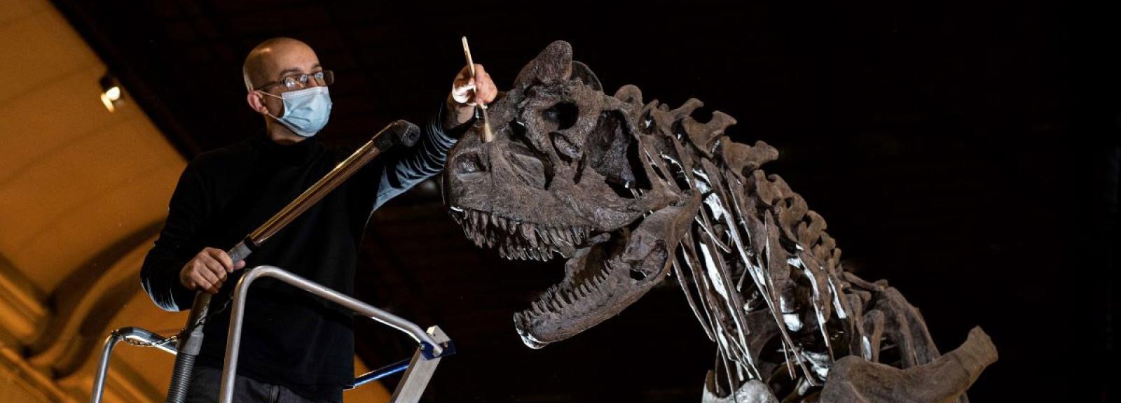 Dépoussiérage du Carnotaurus sastrei © MNHN - A. Iatzoura