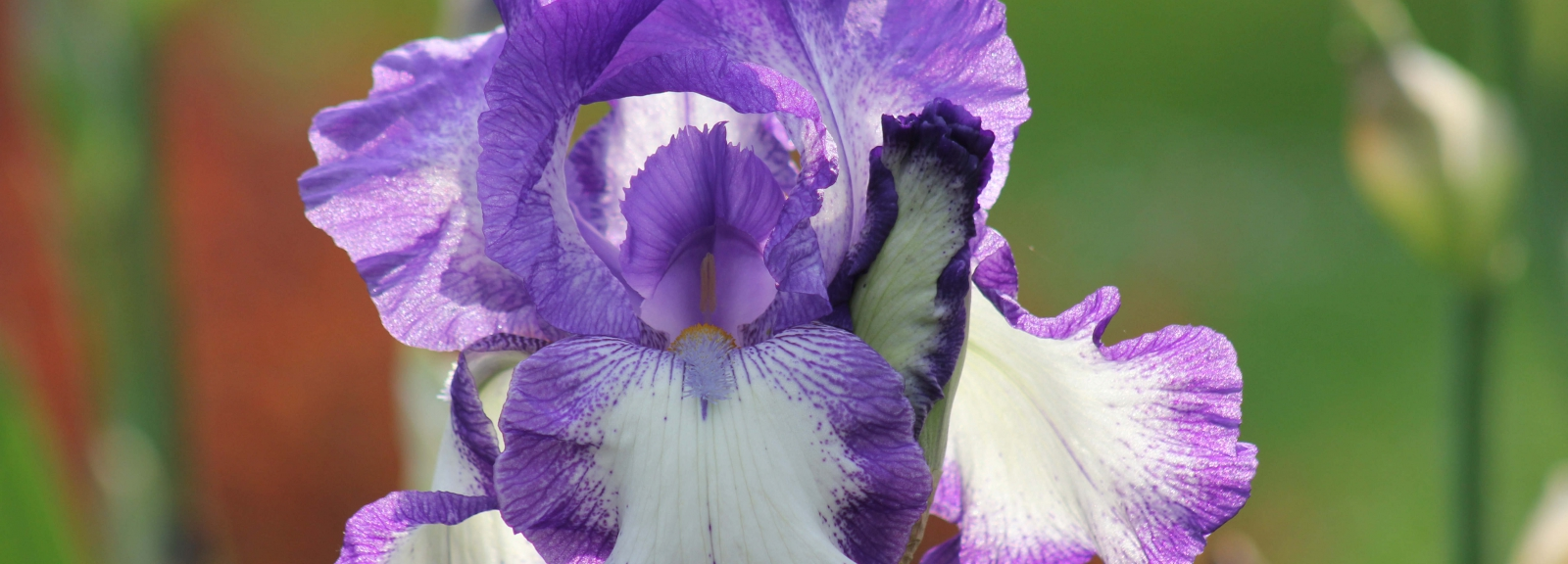 Iris 'Sanseverina' © MNHN - Xavier Riffet