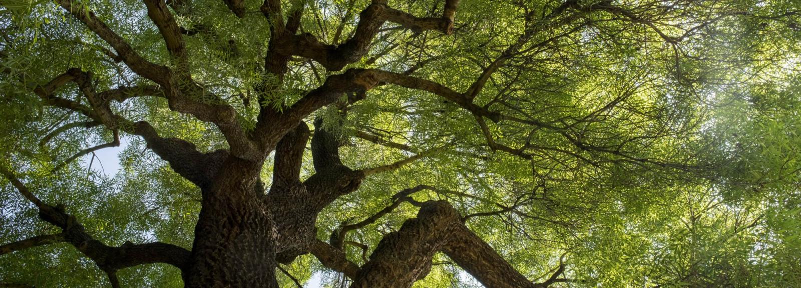 JDP Animation Odyssée sensorielle - Visite yeux fermés - Frêne à feuilles étroites © MNHN - Agnès Iatzoura
