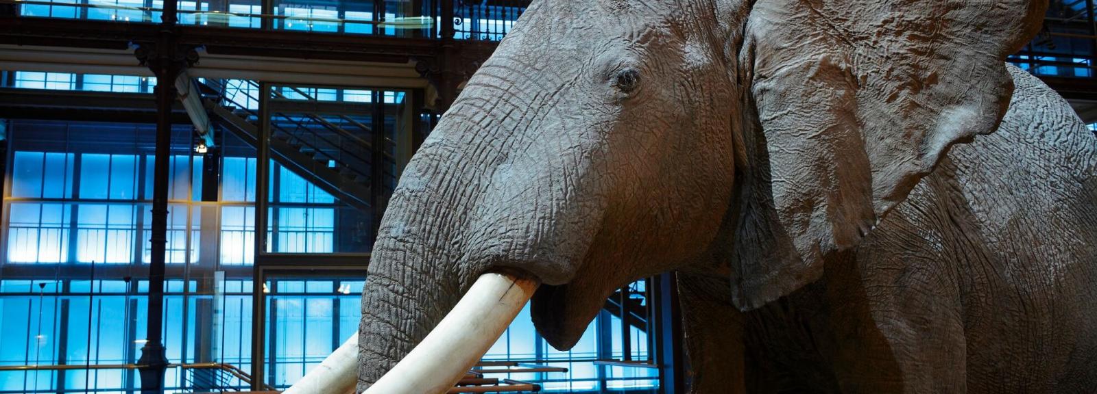 Dans la peau de l'éléphant d'Afrique © MNHN