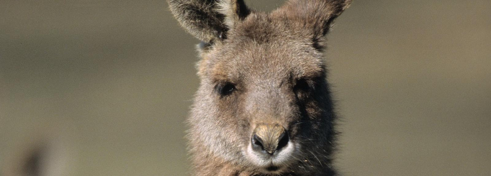Kangourou géant © MNHN