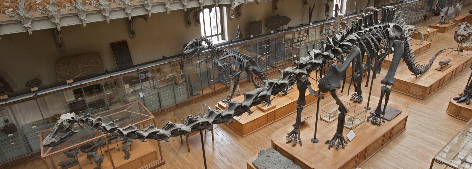 Diplodocus © MNHN