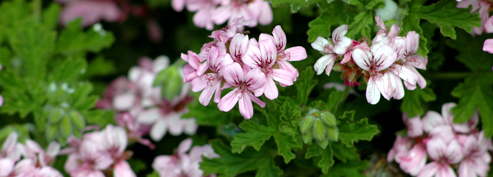 Pelargonium graveolens © CC BY-SA 2.5 - Eric Hunt