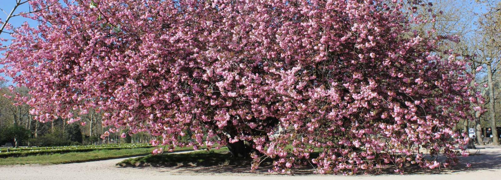 Prunus « Kanzan » en fleurs au Jardin des Plantes © MNHN - Xavier Riffet