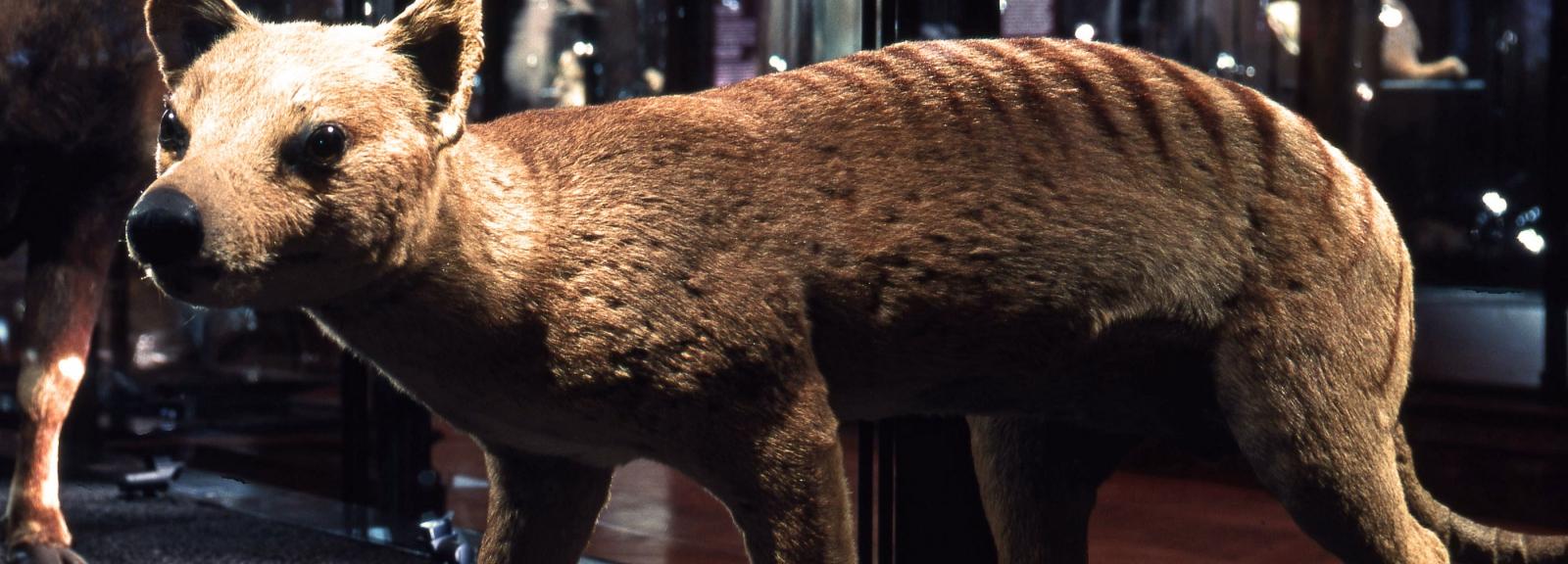 Thylacine ou loup marsupial