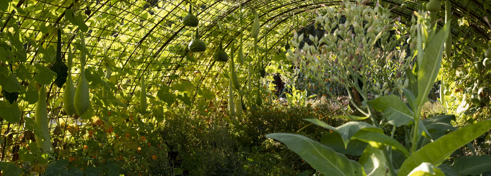 Cucurbitacées au Jardin des Plantes