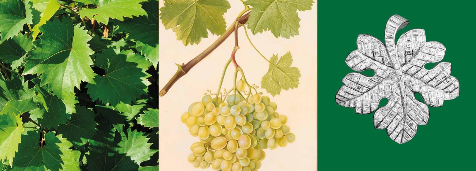 Calendrier floral - Septembre : vigne © MNHN / Collection Van Cleef & Arpels