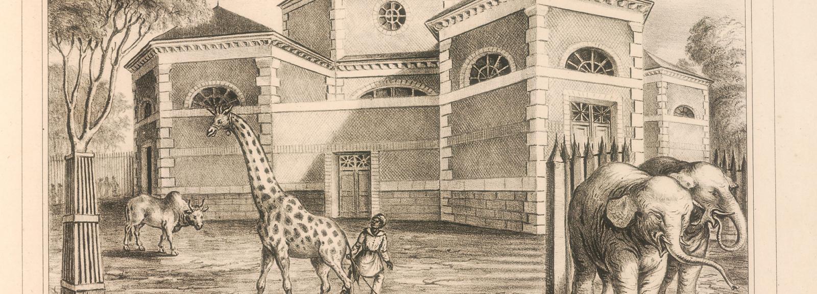 À gauche, la girafe Zarafa et à droite Hanz et Parkies, le couple d'éléphants mélomanes © MNHN - Direction des bibliothèques et de la documentation