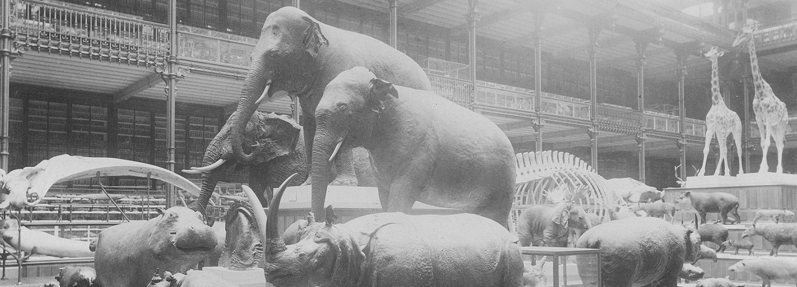 Galerie de Zoologie en 1892, hall, Groupes de Pachydermes - Fonds Pierre Petit © MNHN - Direction des Bibliothèques