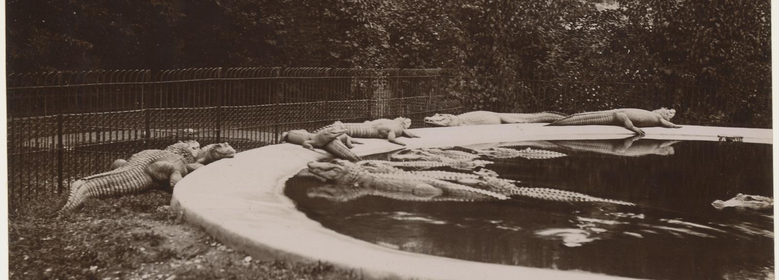 Les premiers crocodiles du Jardin des Plantes, 1838 © MNHN - Bibliothèque centrale