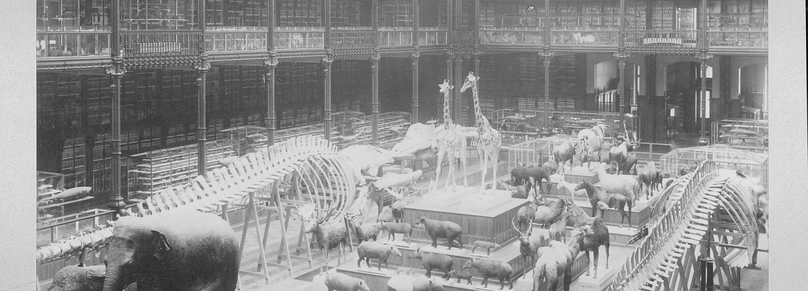 Galerie de Zoologie. View of the great hall, 1890 - Coll. of the Muséum national d'Histoire naturelle (National Museum of Natural History) © Pierre Petit