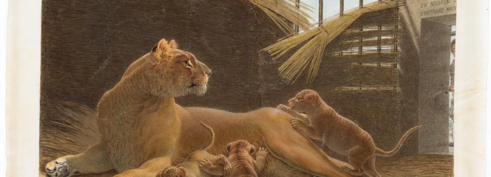 Constantine et ses lionceaux, arrivée en 1798 © Muséum national d'Histoire naturelle - Dist. RMN / Tony Querrec