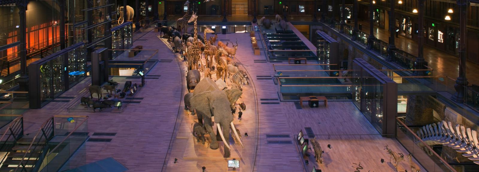 Grande Galerie de l'Évolution : caravane africaine © MNHN – Agnès Iatzoura