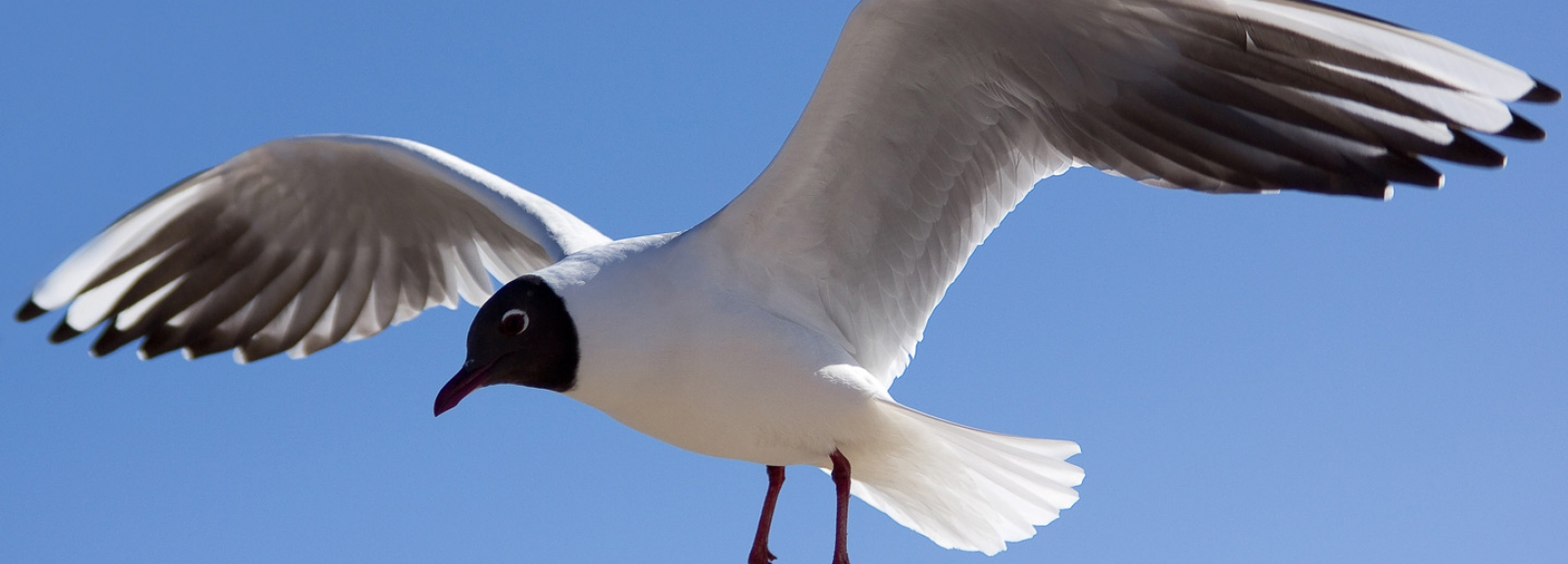 Mouette rieuse - Wikimedia commons