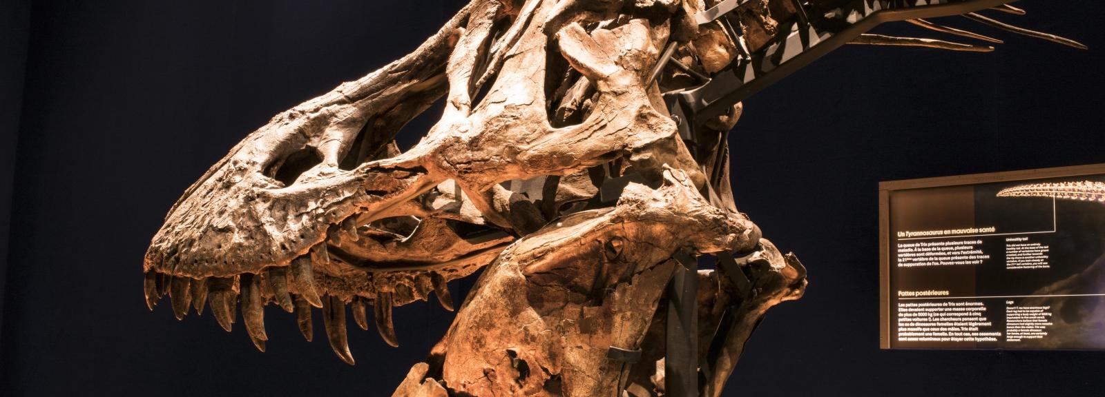 Exposition Un T. rex, Trix - © MNHN - A. Iatzoura