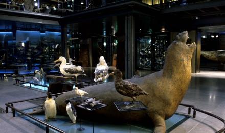 Éléphant de mer - Milieu polaire - Grande Galerie de l'Évolution © MNHN