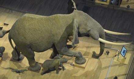 Éléphants de la caravane africaine © MNHN