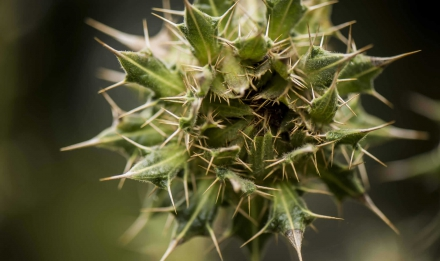 Berkheya cirsiifolia © MNHN - A. Iatzoura