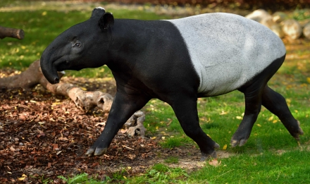 Tapir malais © MNHN - F-G. Grandin