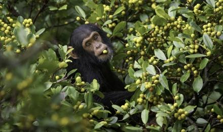 Jeune chimpanzé mange dans un Ficus natalensis - Kibale National Park - Ouganda © MNHN - Jean-Michel Grief