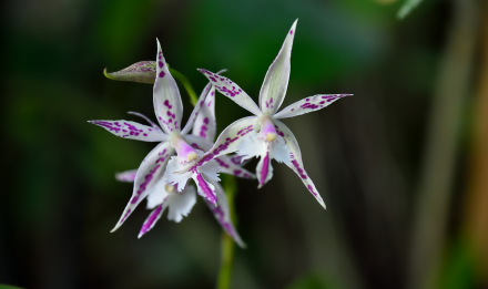 Orchidée - Barkeria spectabilis x, Epidendrum criniferum © MNHN – F-G. Grandin