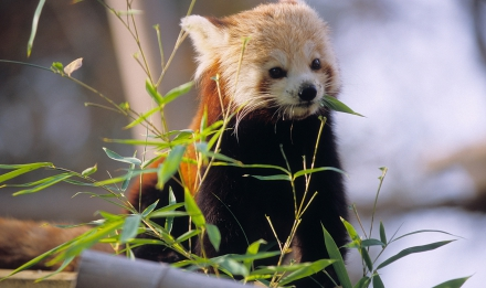Panda roux © MNHN - FG Grandin