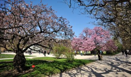 Cerisiers du Jardin des Plantes © MNHN – François Grandin