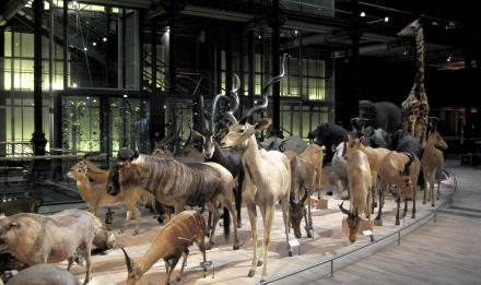 Caravane africaine, Grande Galerie de l'Évolution © MNHN - Bernard Faye